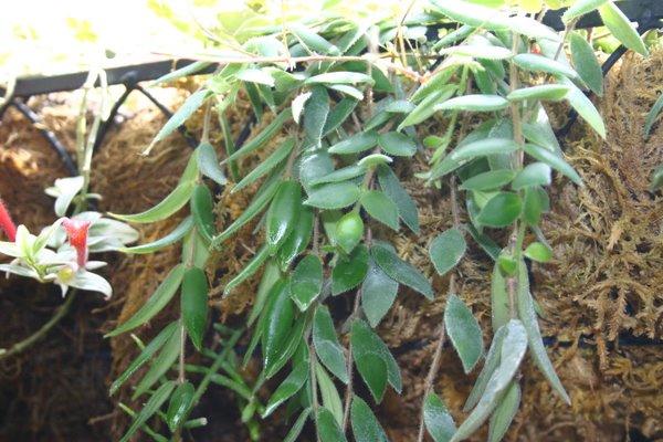 http://www.cloudjungle.com/CloudJungle/Gesneriaceae/Aeschynanthus/Aeschynanthus%20gracilis%20Jade%20Pagoda.jpg
