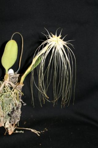 medusa senior singles Senior synonym of clypeata  medusa solenopsis geminata subsp medusa  i have studied samples from single colonies with virtually the entire range of.
