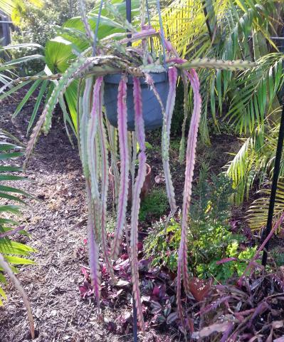 http://www.cloudjungle.com/cloudjungle/Cactaceae/Rhipsalis/rhipsalis%20sp%20hans%20Weiler.jpg